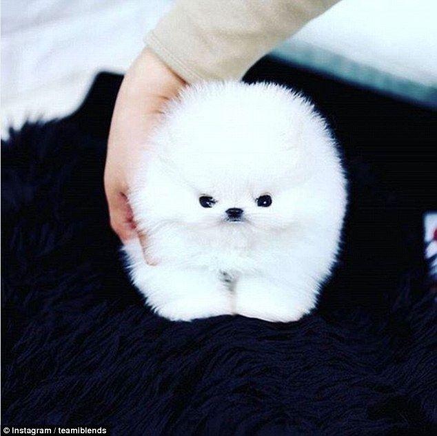 Amazing Fluff Ball Adorable Dog - 7028b155363be8cccb8e5c5c42548799  Gallery_623848  .jpg