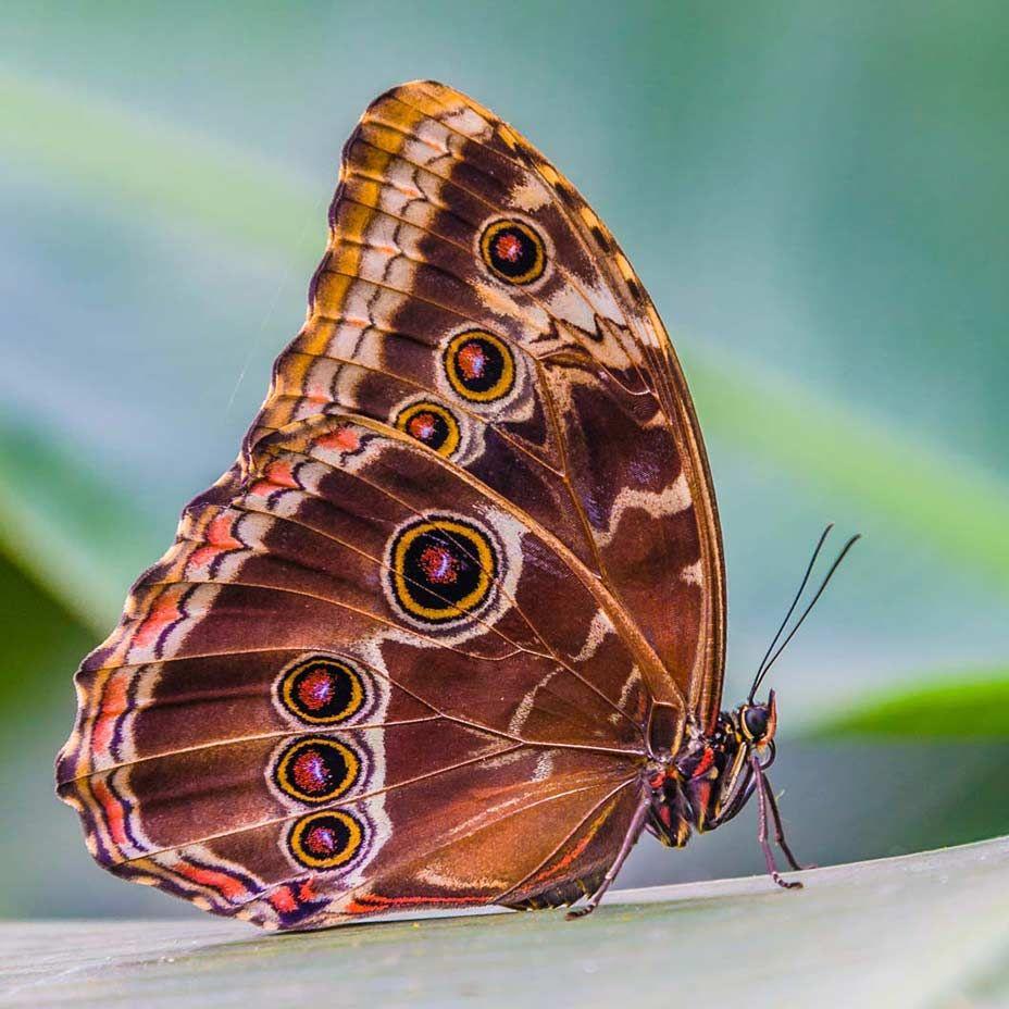 Хамелеон бабочка картинки