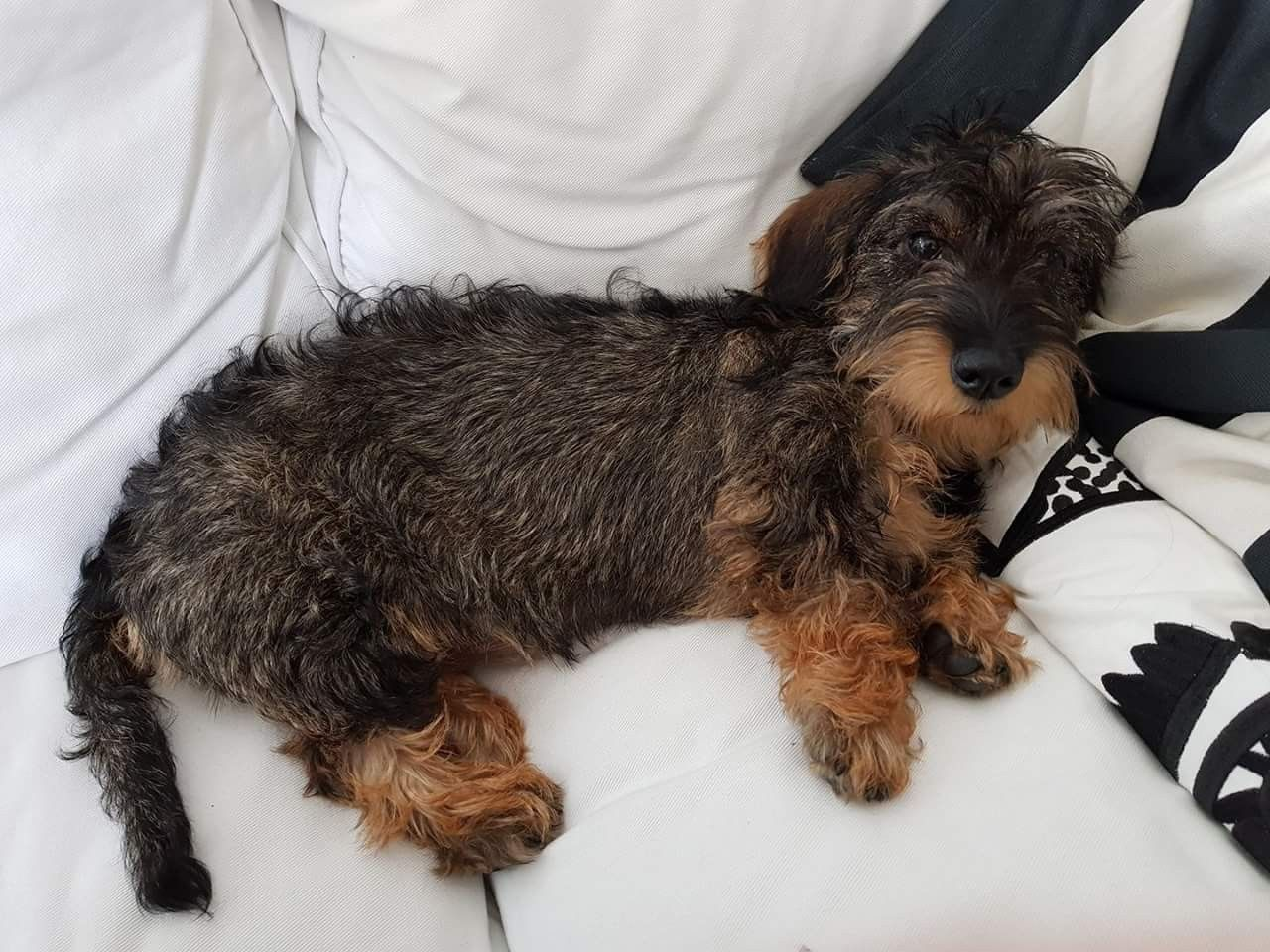 Pin By Eva Maria Berna Susin On Doxie Doxies Wire Haired Dachshund Weenie Dogs Dachshund Mix