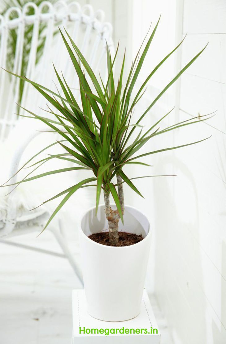 How do you care for dracaena marginata plant at home plants and