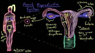 khan academy female reproductive system - YouTube | Nursing