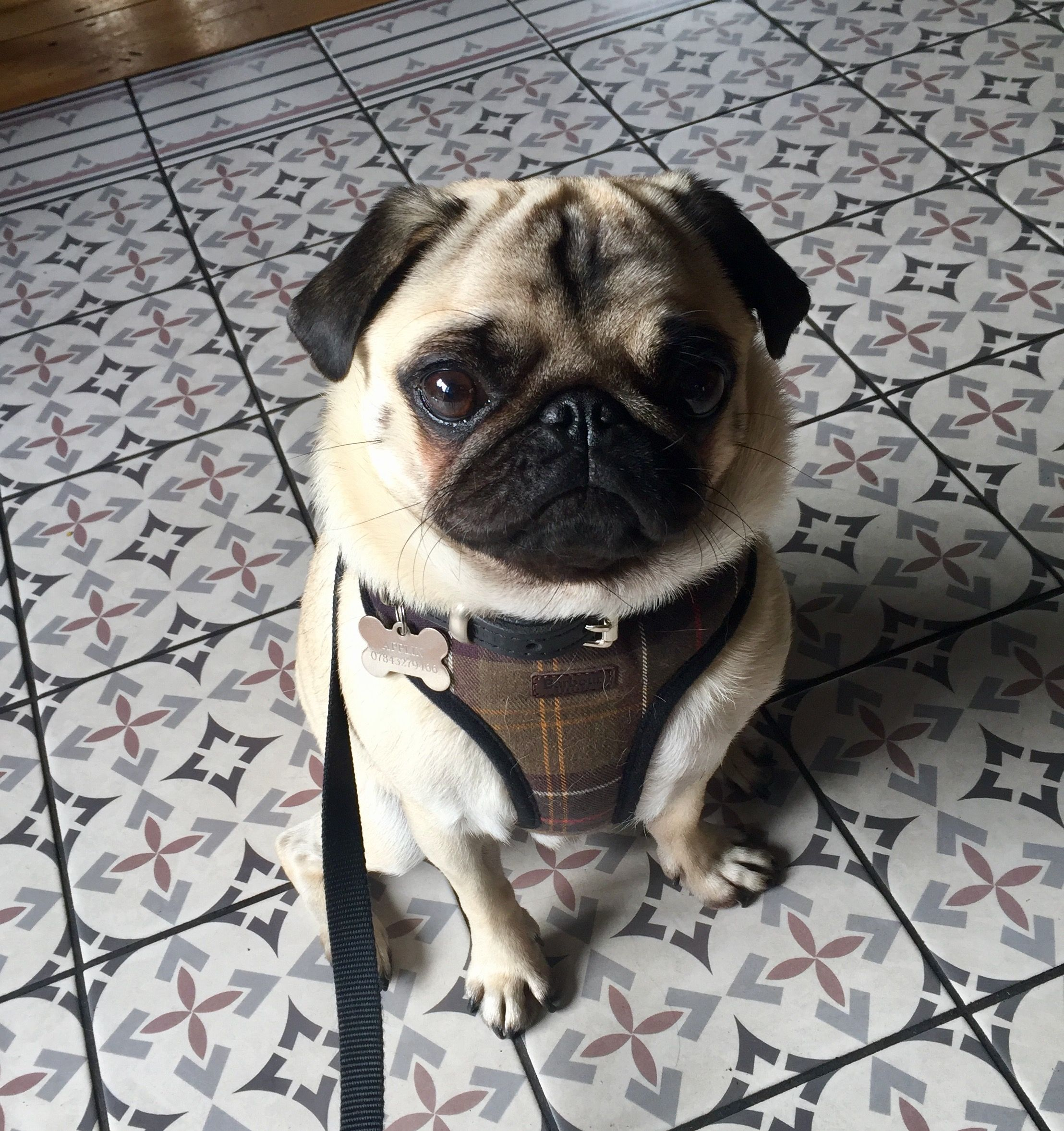 Barbour Harness With Images Dog Harness Pugs Bulldog