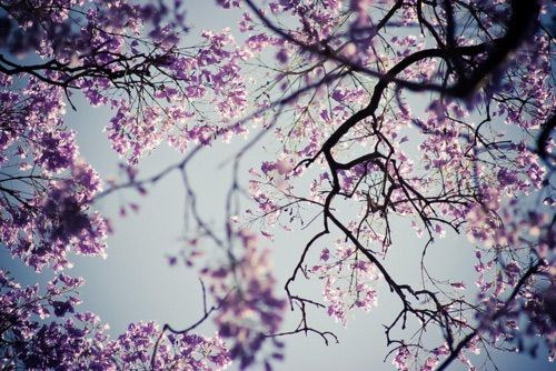 Imagen vía We Heart It https://weheartit.com/entry/148217643 #blossom #blue #cherry #floral #flower #flowers #love #nature #photo #photography #pink #purple #sky #tree #vintage