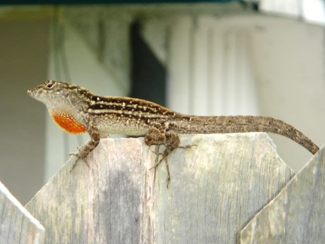We Have All Sorts Of Lizards In Florida But We Have More Of These In Our Yard Than Any Other Type Florida Should Be Renamed Florida Wildwood Sunshine State