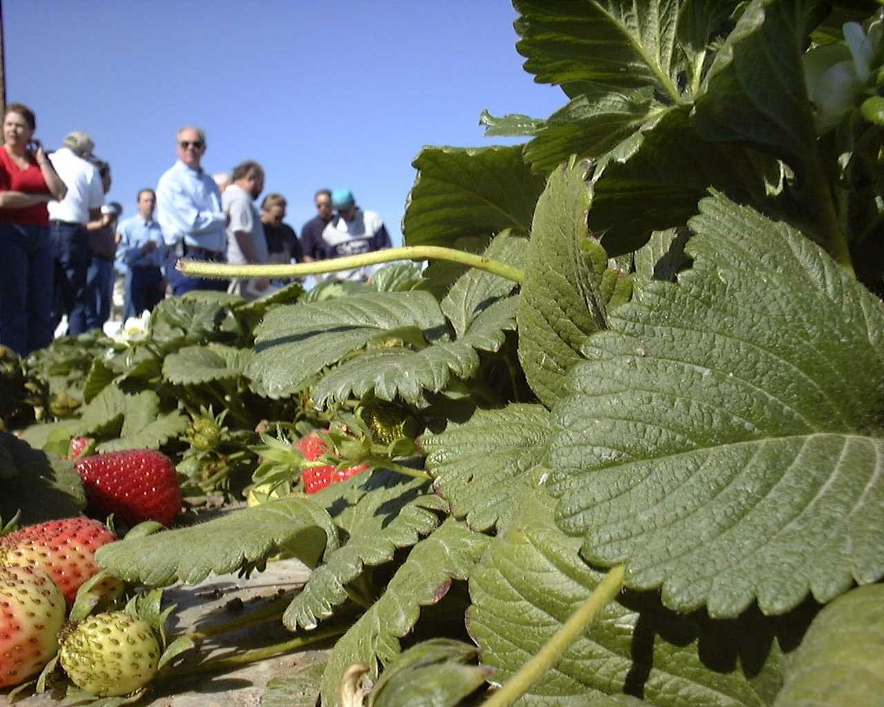 2000 ventura ca strawberry school ncis cropinsurance
