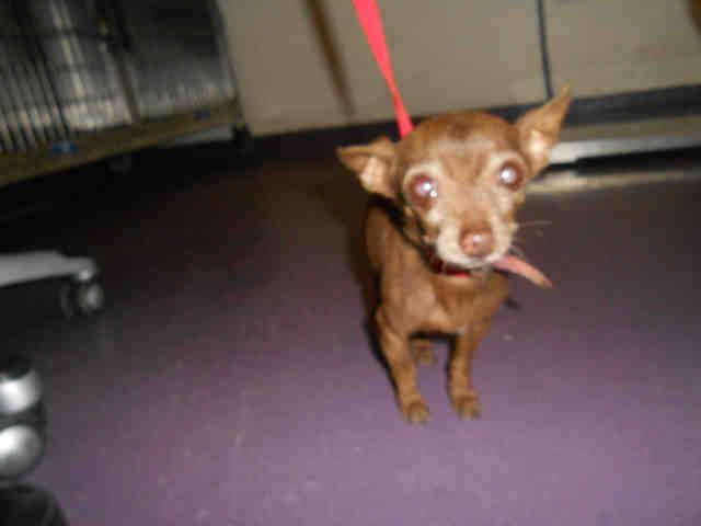 Chihuahua dog for Adoption in Long Beach, CA. ADN712337