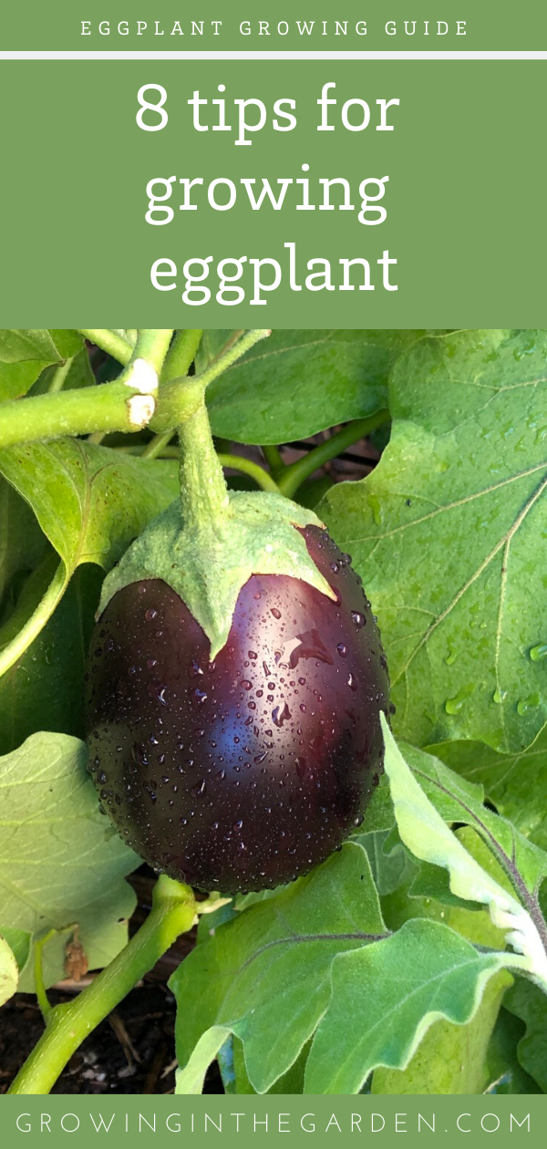 How to Grow Eggplant 8 Tips for Growing Eggplant is part of Growing eggplant, Beautiful fruits, Growing vegetables, Veggie garden, Organic gardening tips, Eggplant - Learn how to grow eggplant, and add this beautiful and versitile fruit (yes, eggplant is a fruit) to your garden and table