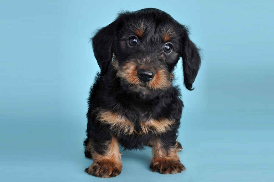 Dorkie Puppies ( Dachshund and Yorkie mix) I want one just