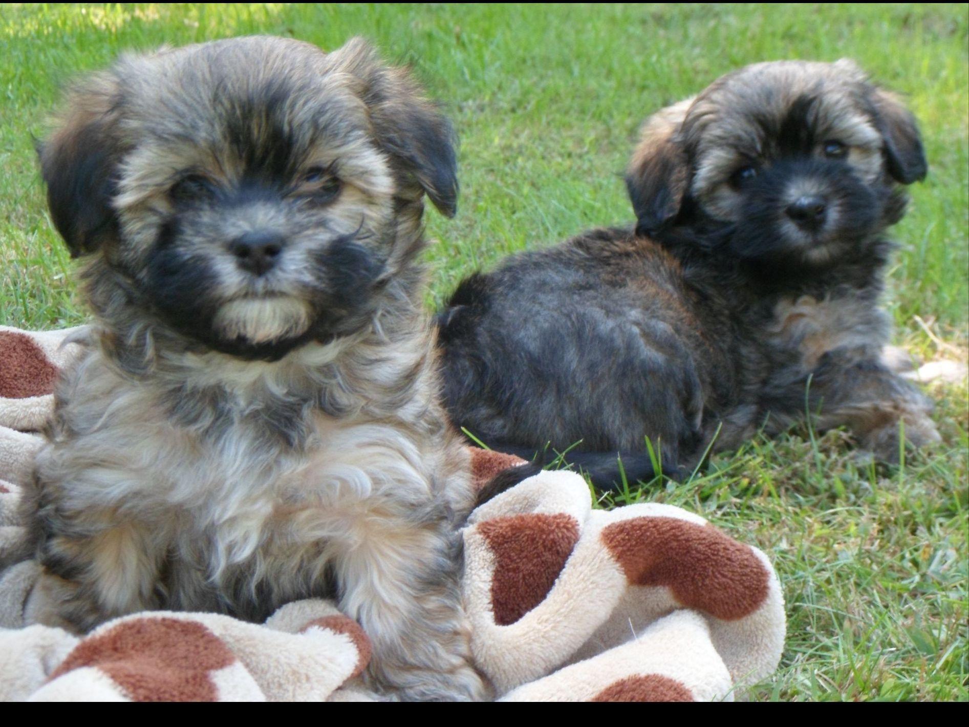 Tibetan terrier puppies for sale kennel club