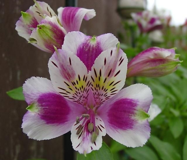 Plantfiles Pictures Alstroemeria Peruvian Lily Lily Of The Incas Premier Series Alstroemeria 4 By Bloom Where Youre Planted Peruvian Lilies Alstroemeria