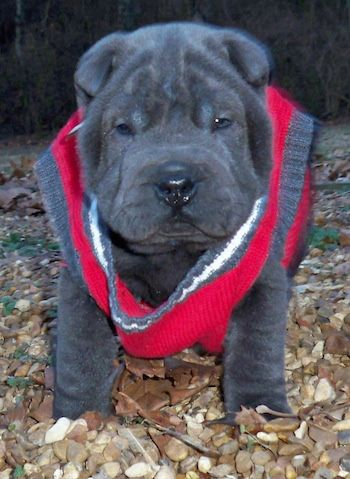 Chinese Miniature Shar-Pei Puppy