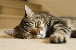 tabby cat sleeping looks like slinky  tabby cat