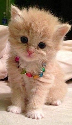 He S Wearing A Necklace With Images Kittens Cutest Cute Cats Baby Cats