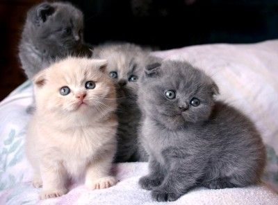 Standard Scottish Fold Munchkin Cats Chicago Il