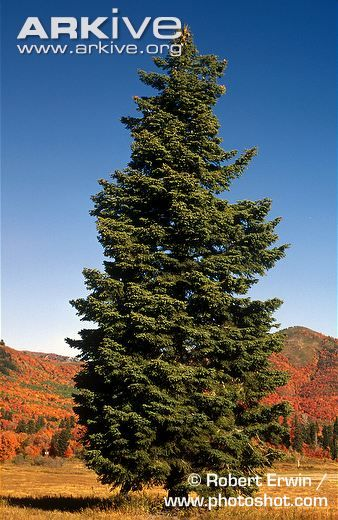 Image result for subalpine forest