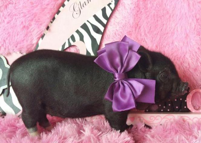 Teacup pigs for saleteacup pigultra nano pigspiglets for sale teacup pigs for saleteacup pigultra nano pigspiglets for sale voltagebd Choice Image