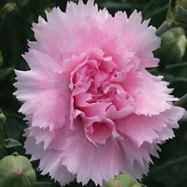 Oeillet anglais 'Candy Floss'®