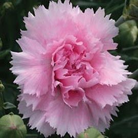 Dianthus Plumarius Candy Floss Pink Plant Flowers Plants
