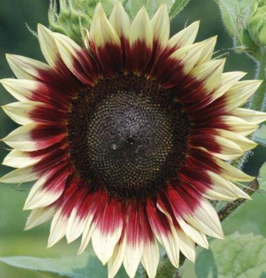 Strawberry Blonde F1 Sunflower Seed Johnny S Selected Seeds Flower Seeds Sunflower Flower Flower Farm