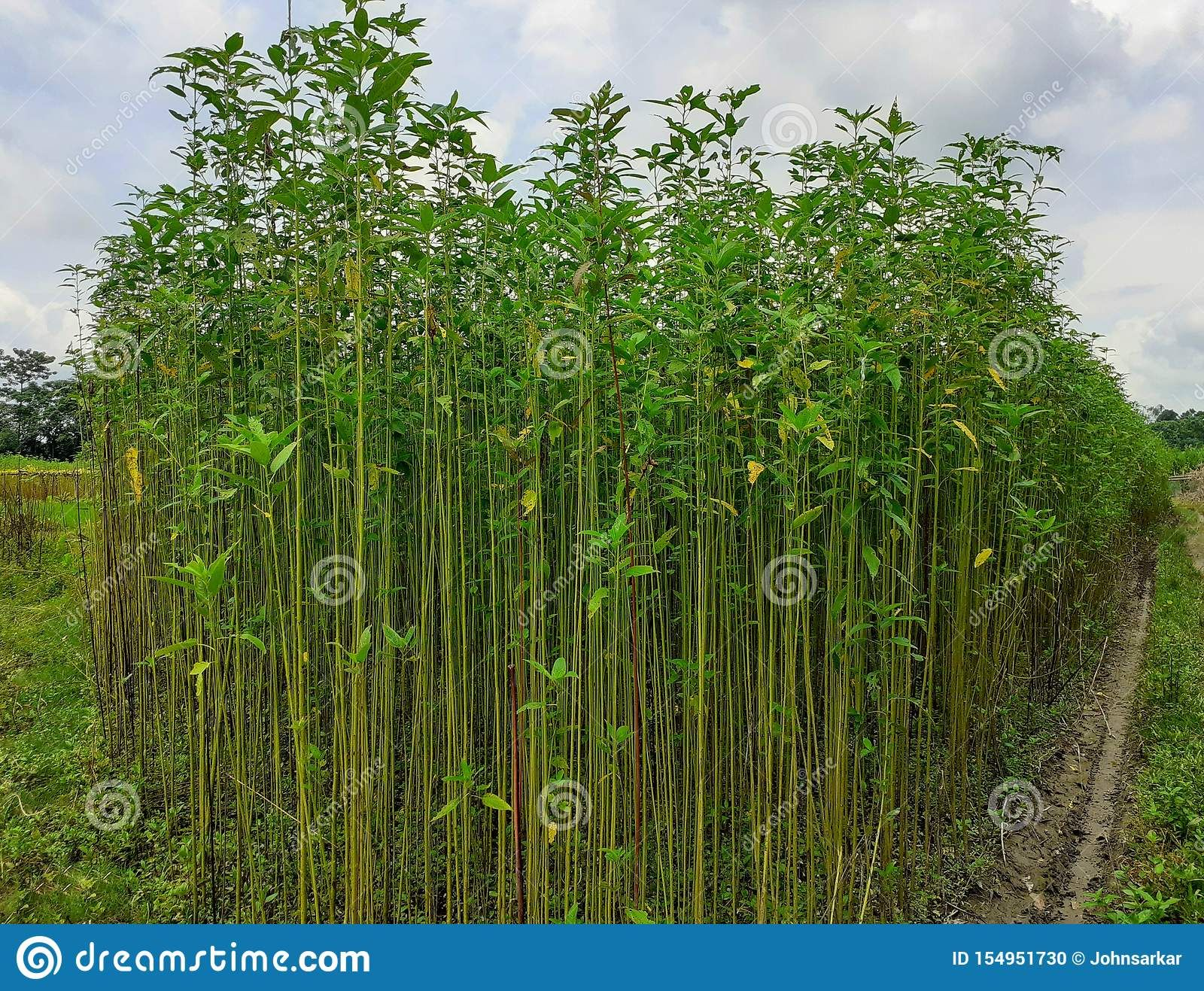 Pin by Ognimdo2002 Plant Edition on Saluyot Jute Plant