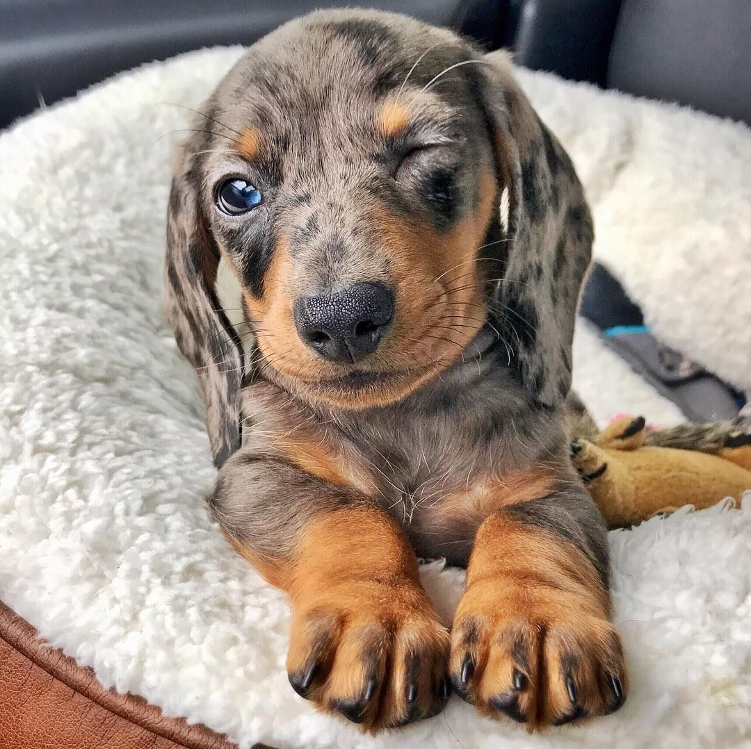 Cute Dapple Dachshund Puppy If You Love Dachshunds Visit Our Blog To Find The Best Products And Accessori Dachshund Breed Dapple Dachshund Puppy Clever Dog
