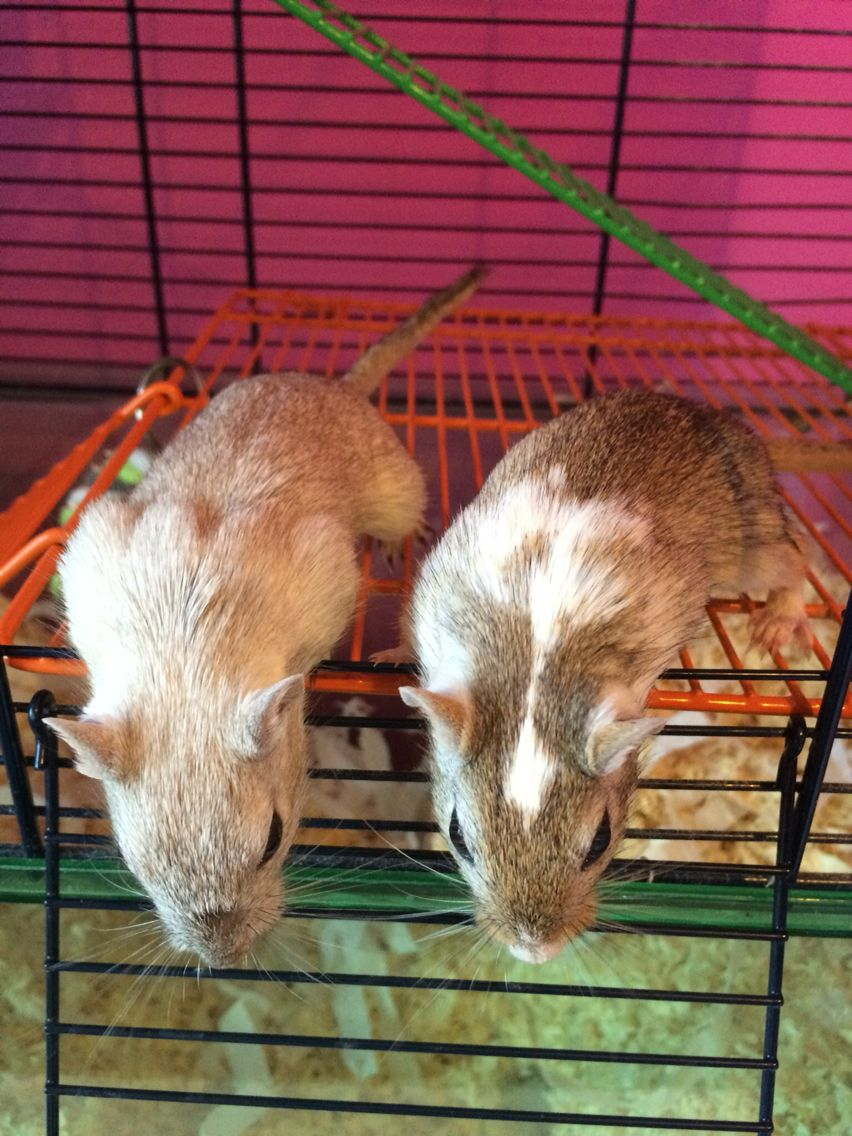 Gerbils ranger and rumple