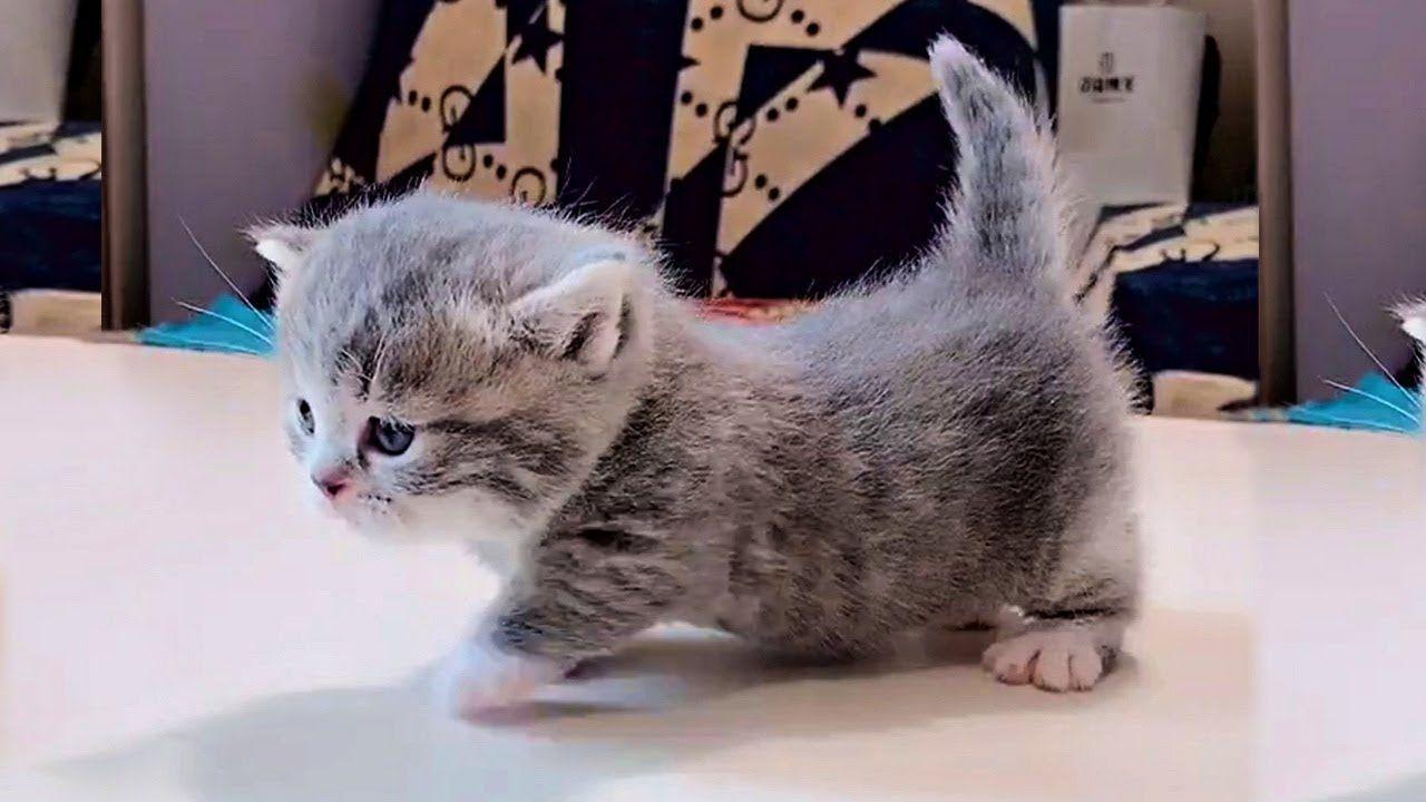Garfield Orange Mitted Tabby Munchkin Cat Kitten From Www Ragdollkitten Us Munchkincat Munchkin Cat Cat Noises Cat Adoption