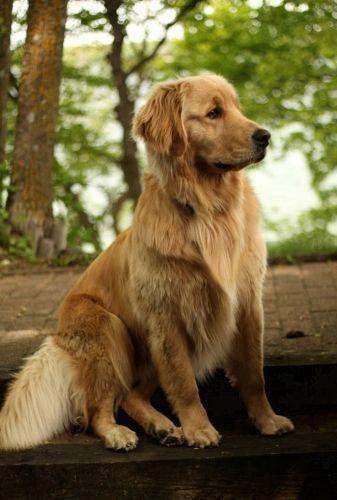 Golden Retriever Noble Loyal Companions Retriever Golden Retriever Golden Retriever Facts