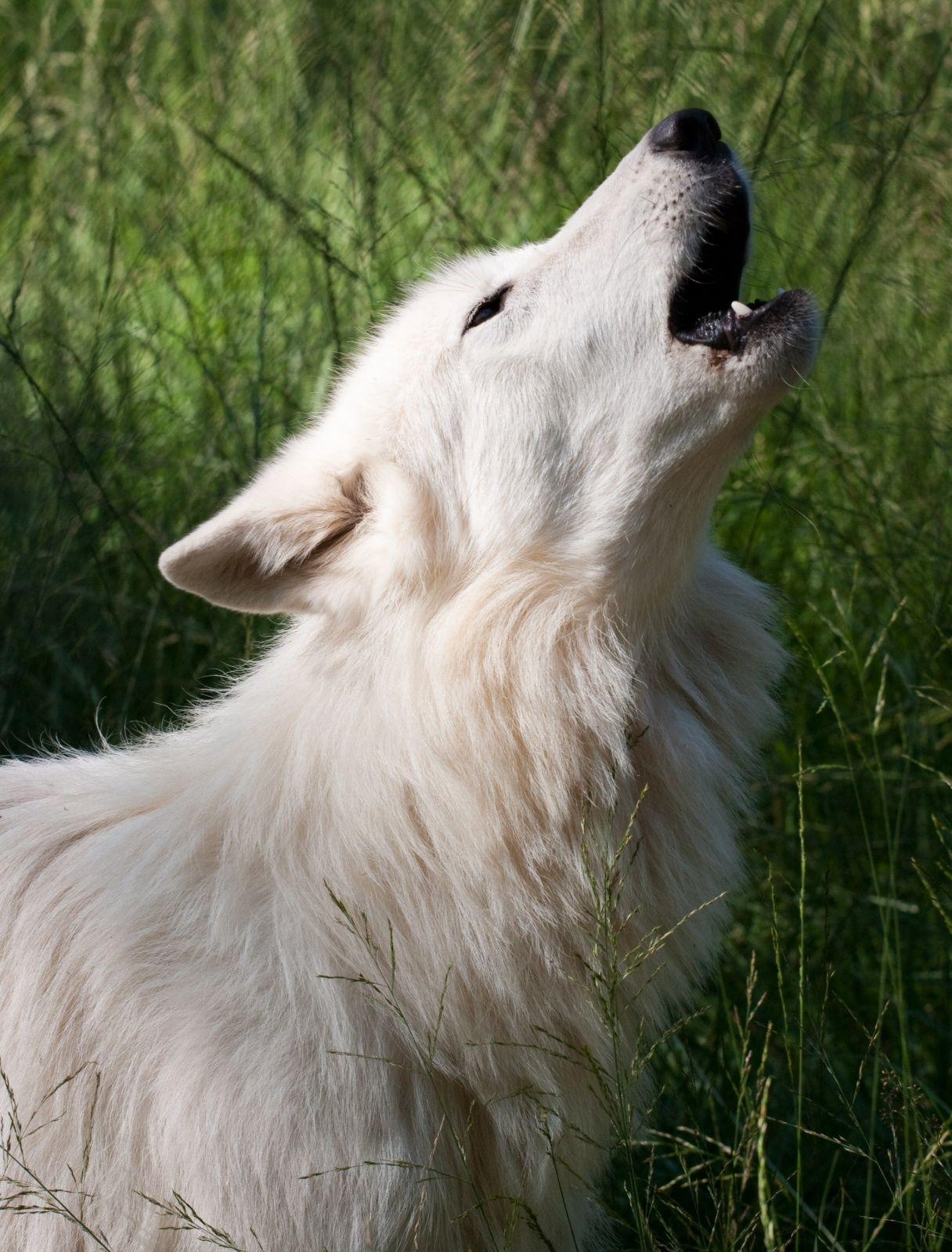 Pure white werewolf - photo#4