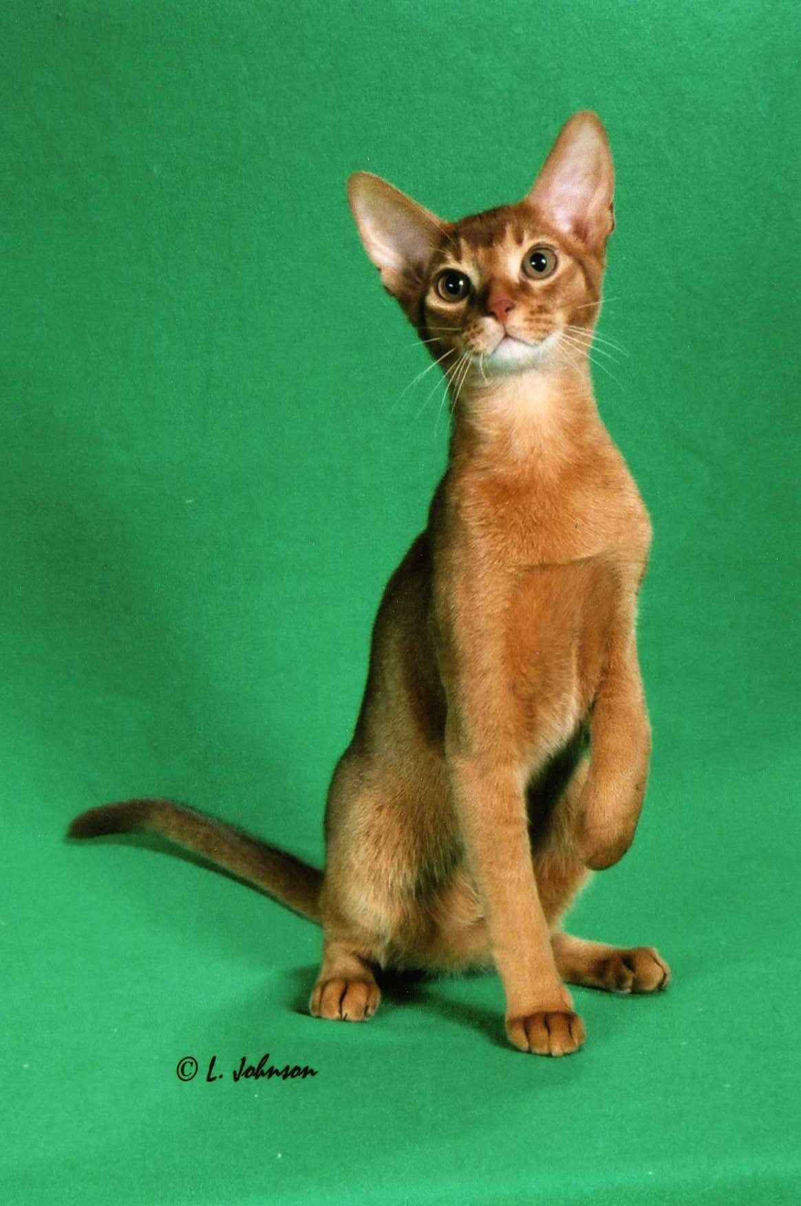 Red Abyssinian Cat | Abyssinian Cat | Pinterest