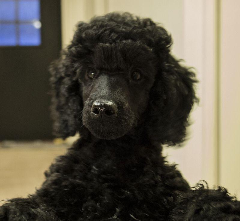 Poodle Puppy Face Black Standard Poodle Poodle Puppy Face