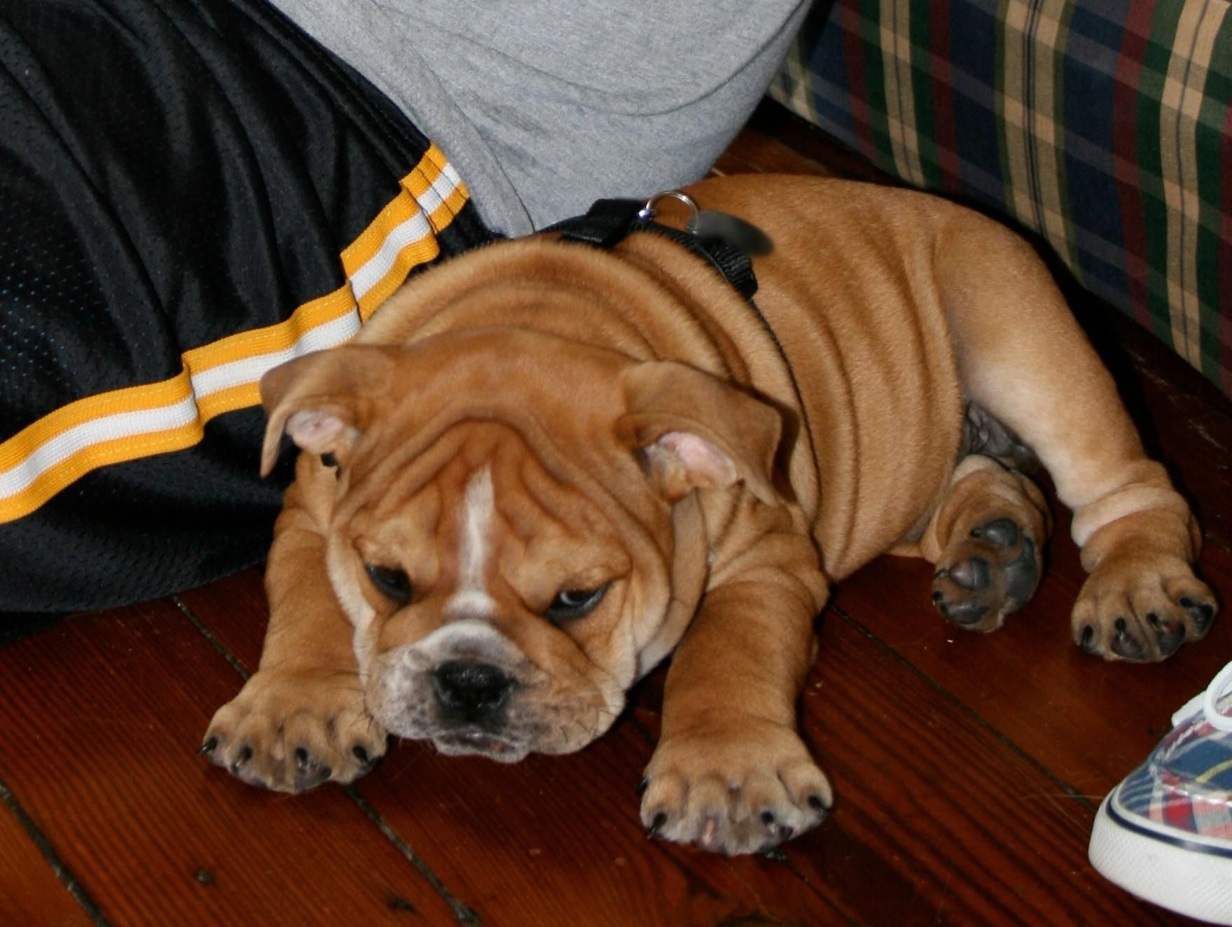 English Bulldog Puppies For Sale In Nc Under 1000 2021