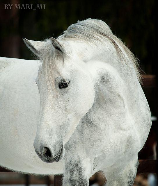 gray mare | Flickr: Intercambio de fotos