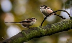 Two long-tailed tits – you'll never see a lone one.