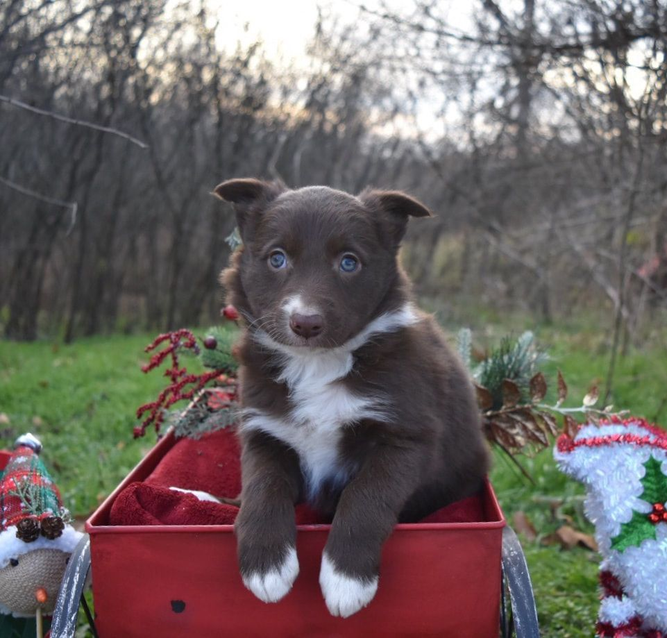 This Red And White Border Collie Puppy Is For Sale Maremma