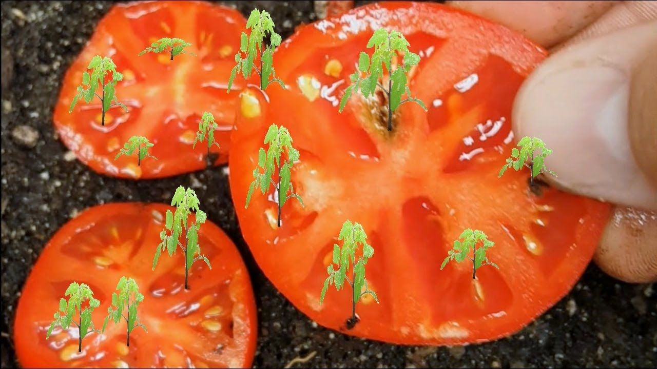 How to grow tomatoes from seed fast and easy way works