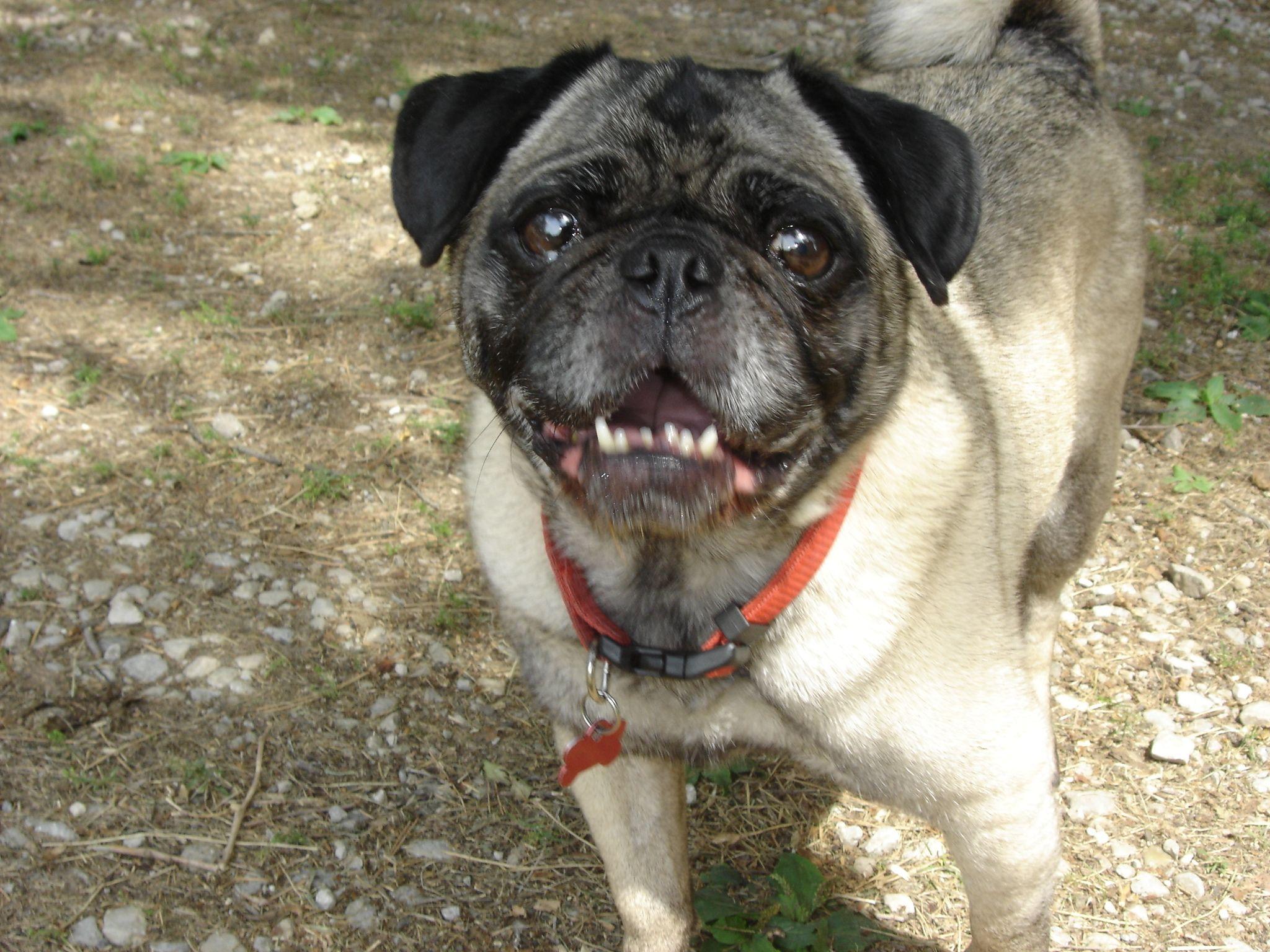 Gus Was Adopted With Love 3 Happy Endings Fureverhome Pug