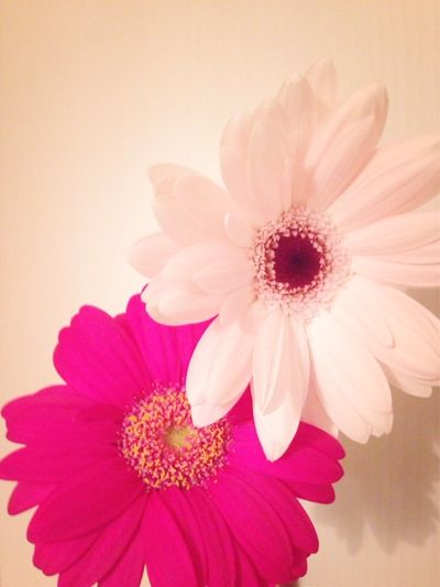 アラサー女子の婚活お掃除風水 毎日ちょっとずつ ガーベラ イラスト おしゃれな壁紙背景 季節の生花種類