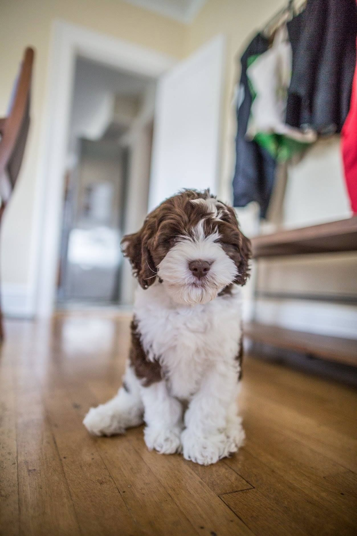 Labradoodle Puppy from High Country Labradoodles
