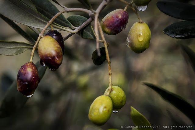 Cultivar Toscane,Pierazzuoli, Tenuta Cantagallo