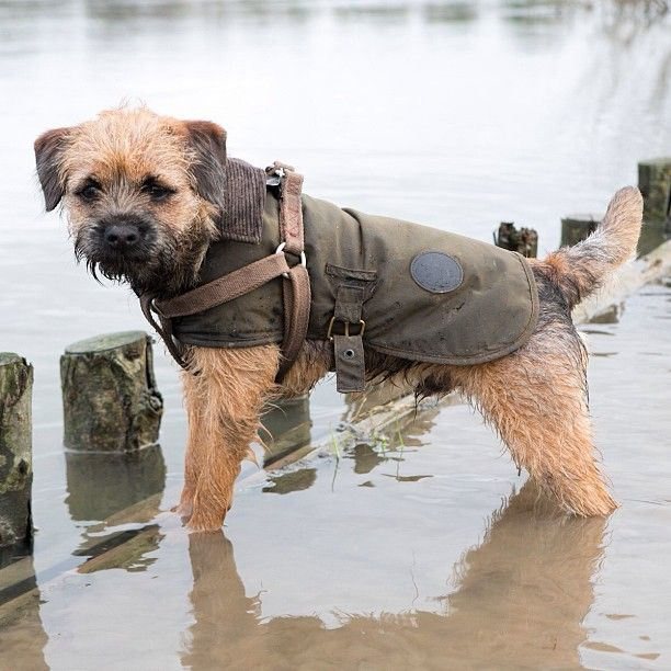 Log In Instagram Border Terrier Puppy Border Terrier Terrier Dogs