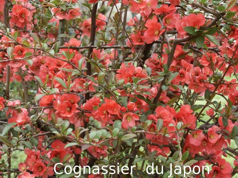 Arbuste Fleur Rouge Jardin Pinterest