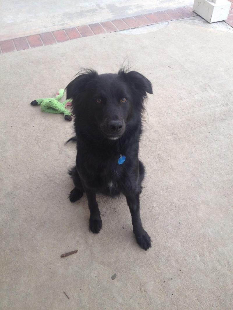 Community Hybrid Dogs Corgi Aussie Mix Corgi Australian