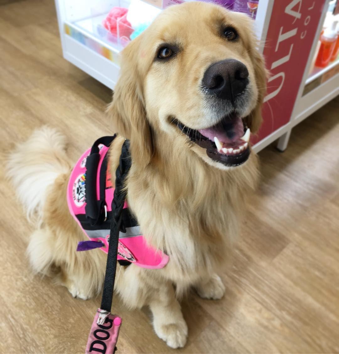 Percie the Service Dog, service dog, pink vest, golden