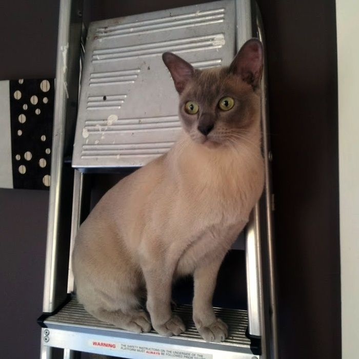 I'm ok up here thanks... Tonkinese cat, Cats, Siamese cats