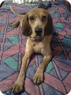 Red Tick Coonhound Redtick Coonhound Mix Dog For Sale In