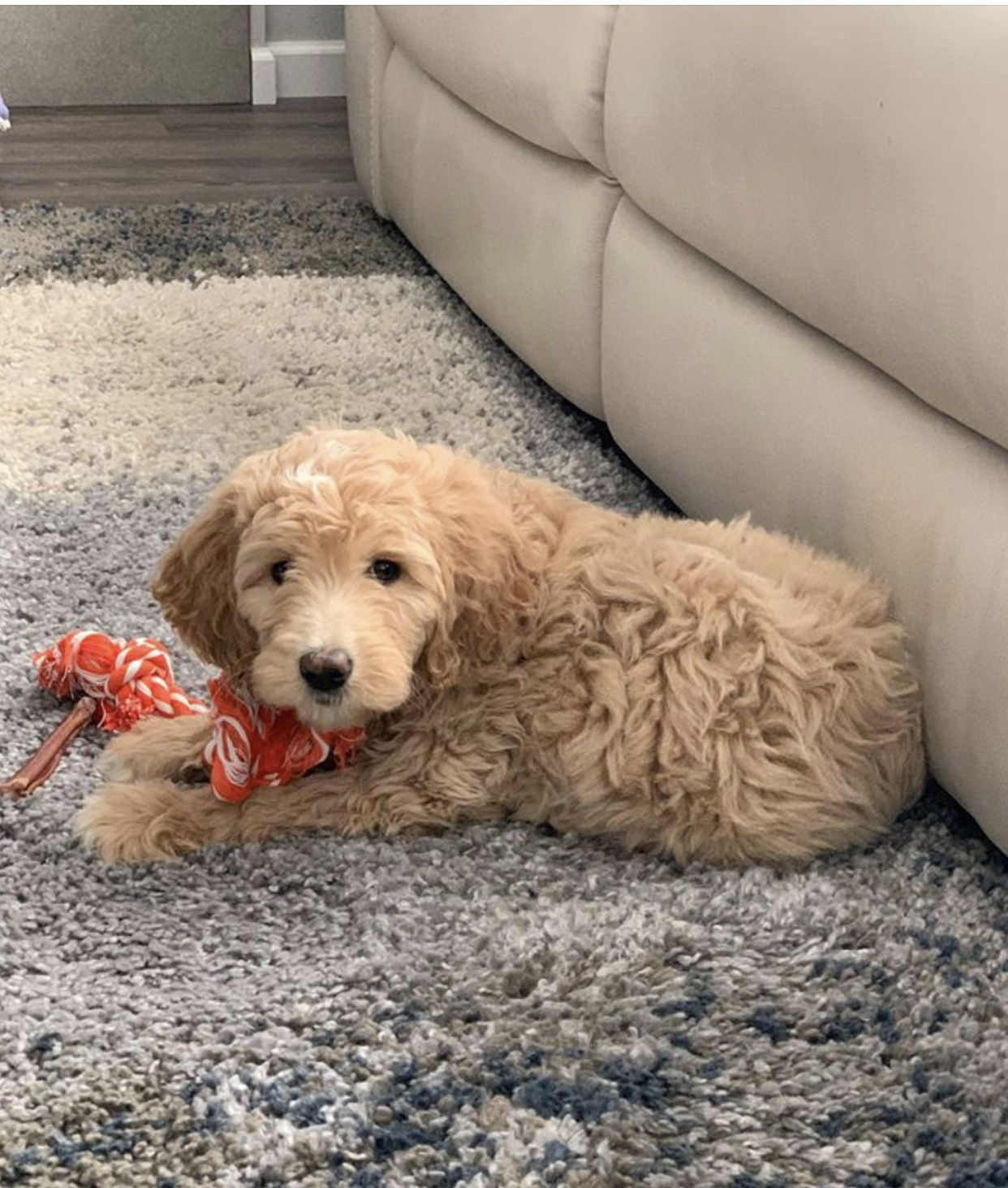 Home At Last Bernedoodle Puppy Goldendoodle Breeders Goldendoodle Puppy