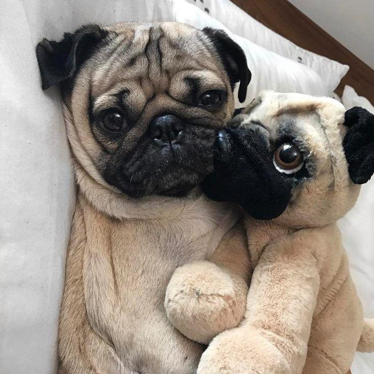 Good Night Sweetpug Cute Dogs Pugs Pug Love