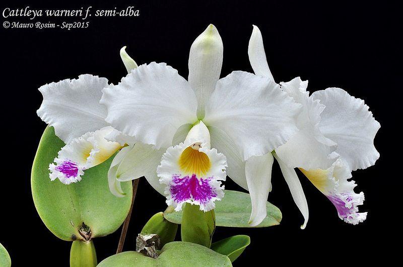 Cattleya Warneri F Semi Alba Cattleya Orchids Plants