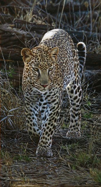 Elusive Leopard by Tony Karpinski Cannot believe these paintings, so life like! http://www.tonykarpinski.net/